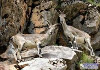 罕見!岩羊、白臀鹿在張掖祁連山國家級自然保護區嬉戲覓食