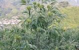 有8種果苗,高產易養活,當年結果,果子壓滿枝頭想吃隨時摘