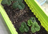 請問草莓新葉黃葉失綠是怎麼回事?如圖?