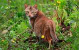 中國動物:草原斑貓