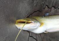 春天咋不試試釣鯰魚呢?用餌思路很簡單啊……