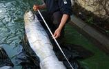 一條6米長的皇帶魚屍體,需要15人幫忙,才能把屍體拖上岸