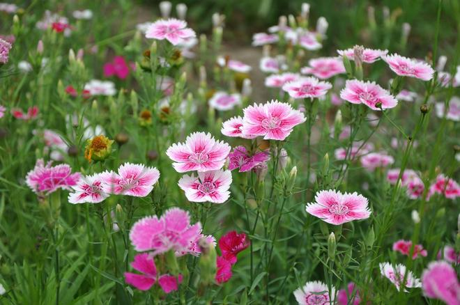 花卉大全——五彩石竹