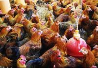 雞呼吸道疾病的發病原因