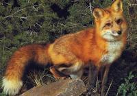 殺狐狸吃狐狸,被狐狸刨了祖墳,變成癱子,道士幾句話就驅走狐狸