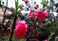 盆栽壽星桃怎麼養,壽星桃的種植與養殖方法