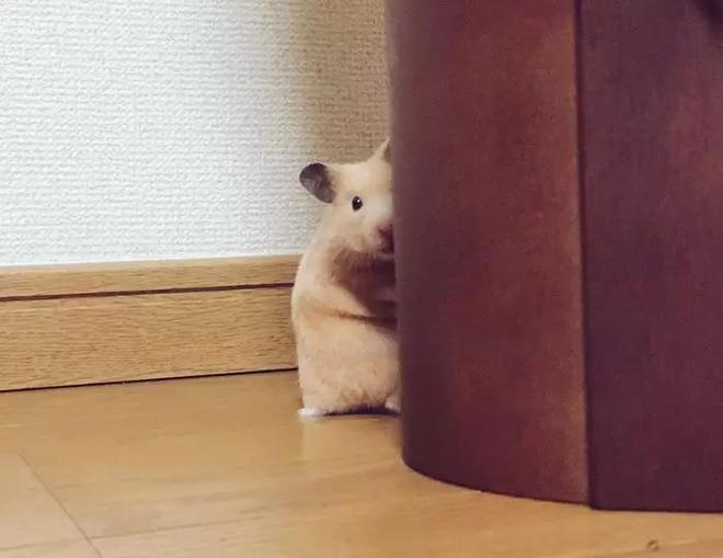 """一網友家的""""液態""""小倉鼠把網友萌壞了!又想騙我養倉鼠!"""
