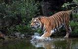動物圖集:威風凜凜的東北虎