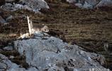 它是巖壁上的舞者,也是雪豹追尋的美餐——實拍高原精靈岩羊