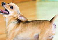 為什麼狗會吠主人?一般都是要求主人,家裡人慣出來的