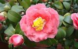 花卉圖集:山茶
