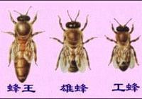 怎樣培育新蜂王?