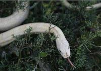 為奪人妻施毒計,以蛇換人說是妖,功成自得意,卻患絕症亡了命
