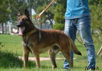 比利時牧羊犬和馬犬一樣嗎?哪個更好?更聰明,哪個吃得少?哪個性格好?他們的特點是?