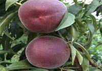 農民小夥種果樹1年賺57萬,一畝地高產3800斤,日入千元!