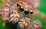 攝影 | Thomas Shahan拍攝的可愛的跳蛛微距照片