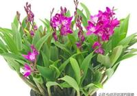 此花乃皇家貢品,九大仙草之首,整個冬天花開不斷 美翻了