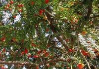 自然界的璀璨明珠、林木資源的亮麗瑰寶