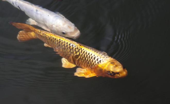 動物圖集:多彩錦鯉