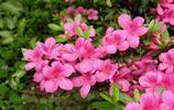 映山紅——杜鵑花