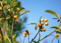枇杷營養豐富,掌握這些栽種的方法,放枇杷更加美味易賣!