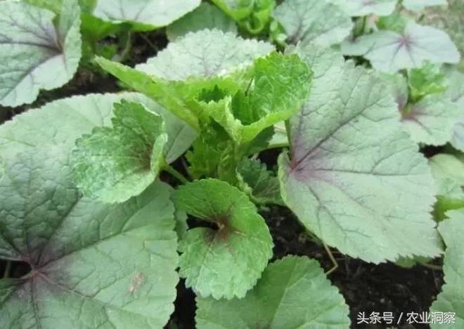 農村裡18種能治病能解饞野菜,別說吃了認識其中5種就算你厲害!