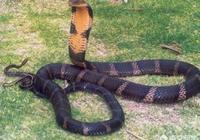過山風蛇是農村裡爬行速度最快的蛇嗎?和五步蛇相比,哪種蛇更厲害?
