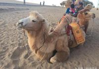 爽了遊客苦了駱駝,國慶假期這裡的駱駝有點累