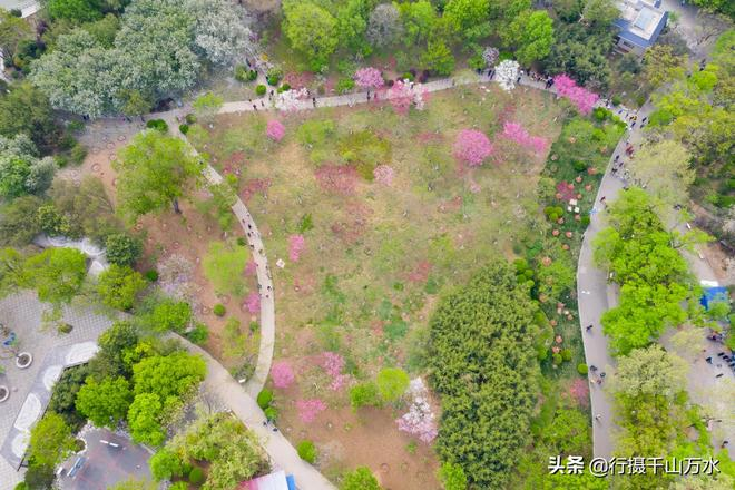 濟南泉城公園碧桃盛開,花團錦簇引來眾多遊客