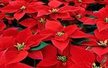 花卉圖集:一品紅