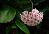球蘭不開花怎麼回事?這樣養球蘭開花又多又美