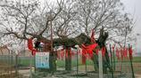皖北現千年樹堅強,樹幹腐空僅剩樹皮頑強生長,村民掛紅綢布敬仰