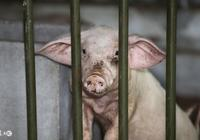 農村傳言,冬季養豬注意這3點,來年豬肯定賣個好價錢,你信嗎