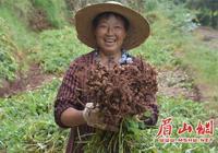 青神:漢陽花生豐收 農民喜上眉梢