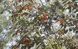 老家的柿子熟了,去採摘時發現都是小白點,這樣的柿子還能吃嗎