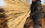 梅克倫堡州-西波美拉尼亞,德國,收割蘆葦