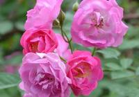薔薇屬三姐妹——月季玫瑰薔薇傻傻分不清楚