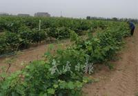 莫高·中國葡萄酒城葡萄基地一角