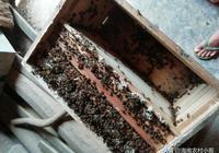新手養殖蜜蜂,不能貪心這兩件事