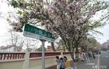 青島八大關海棠花盛開成新晉網紅景點,吸引眾多人打卡拍照