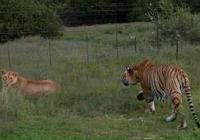 老虎體型比獅子大,為什麼卻比獅子還要靈活?