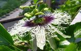 植物美圖:西番蓮