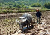 最大的牛有多大?主要在哪裡生存?