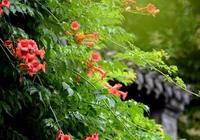 在院子種一棵凌霄花,1年以後你就會擁有一片花海