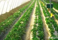 為什麼有人說草莓產量提不起來?有什麼解決辦法?