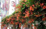 這些爬藤植物,可以盆栽地栽,南北方都適合種植,有的能活幾十年