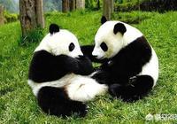 歷史上凶猛的食鐵獸變成靠賣萌為生的國寶,熊貓經歷了什麼?