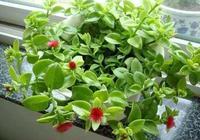牡丹吊蘭怎麼修剪?3個小技巧,株型飽滿美觀,開花多,養出多棵