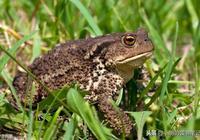 伊索寓言雙語故事114:庸醫蟾蜍(The Quack Toad)