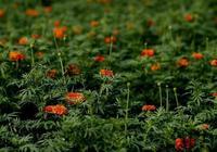 攝影丨家鄉的萬壽菊,一路高歌到秋韻